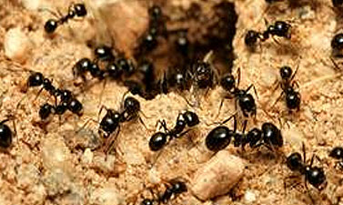 ants, ant control, ant exterminator, ant infestation, ant pest control, ant problem, ant removal, ant treatment, ant terminator, eliminate ants, ant removal service, pest control ants, ants pest control, pest control ant, ant extermination, ants in georgia, ant pests