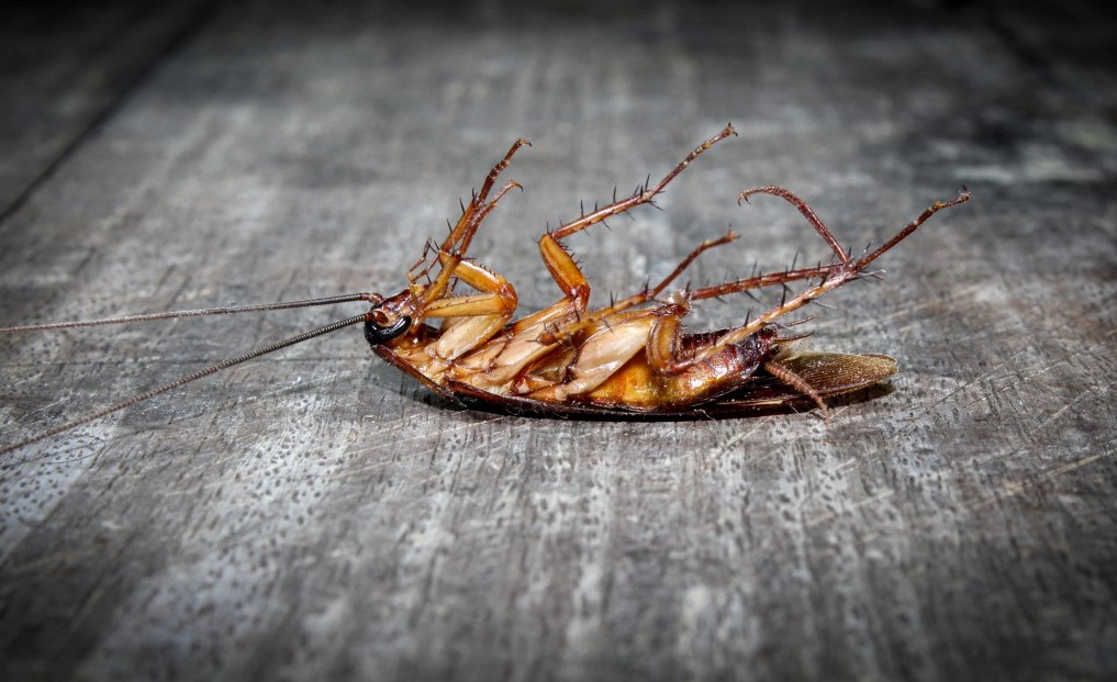 Why Do You Keep Finding Dead Cockroaches In Your House?